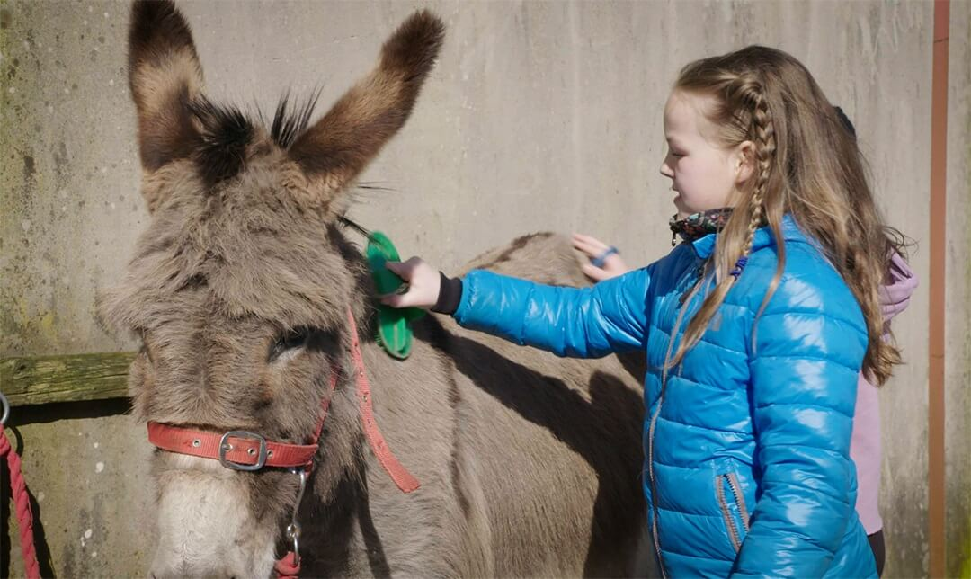 A girl wearing a blue coat and brushing a donkey